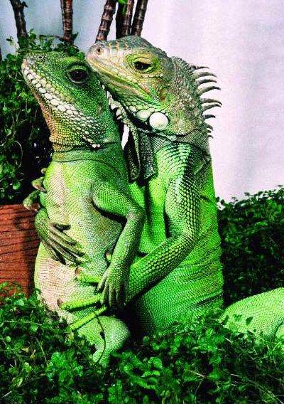 cecil_romance_fifi_by_henry_lizardlover