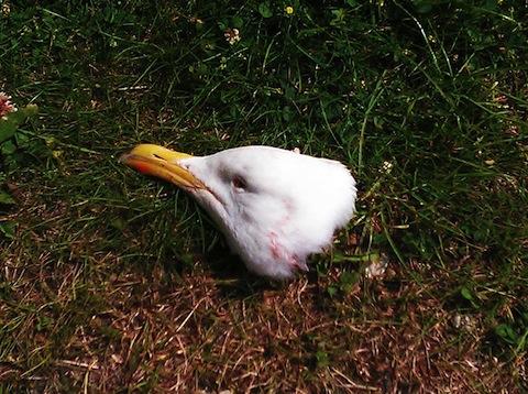 Seagull_head_11